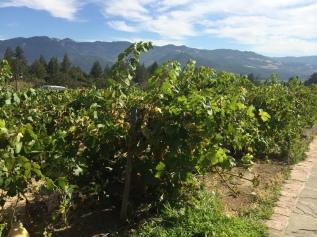 Vines is Sonoma